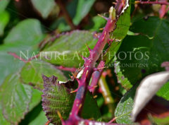 Brombeeren Ast mit Dornen - Nature Art Photos by Damian Konietzny